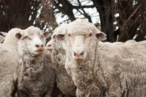 sheepskin-shistory